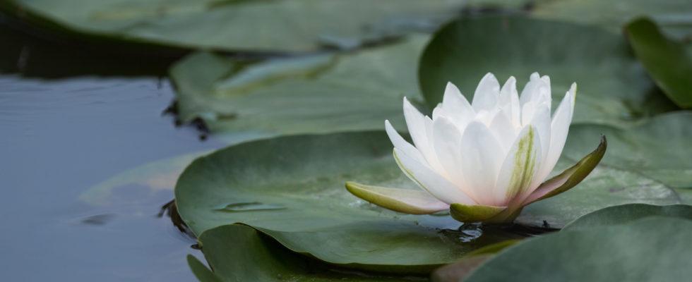 mindfulness flor de loto